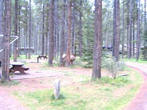 Click image for larger version  Name:Jasper 2011 elk.jpg Views:96 Size:239.1 KB ID:35