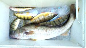 Click image for larger version  Name:walleye.jpg Views:69 Size:50.2 KB ID:484