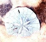 SandDollarMellita197