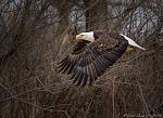 Bald Eagle in Central Minnesota